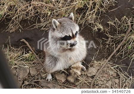 图库照片: 狸 浣熊 动物