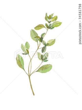图库插图: 马郁兰 水彩画 植物