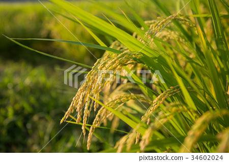 风景_自然 田地_稻田 稻田 照片 稻穗 丰收 收获 首页 照片 风景_自然
