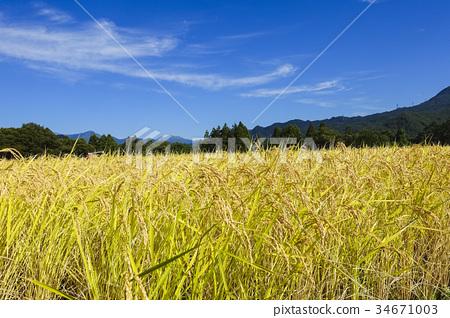 图库照片: 稻田 稻穗 丰收