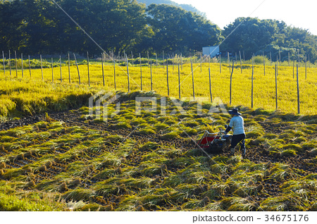 图库照片: 水稻丰收 稻田 丰收