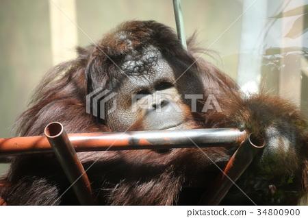 图库照片: 猩猩 王子动物园 哺乳动物