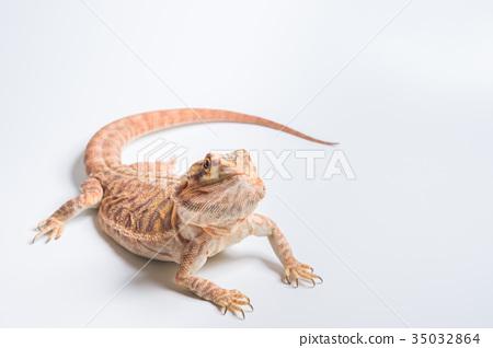 图库照片: 大胡子龙 动物 爬行动物