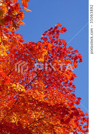 首页 照片 植物_花 树_树木 枫树 树叶 叶子 枫树  *pixta限定素材仅