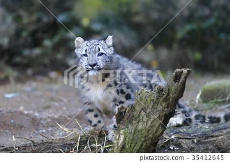 图库照片: 雪豹 婴儿 宝宝