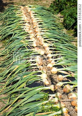 电话图库:收获的洋葱花嫁丽舍照片蟹岛图片