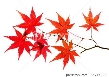 首页 照片 植物_花 树_树木 红叶 树叶 叶子 红叶  *pixta限定素材仅