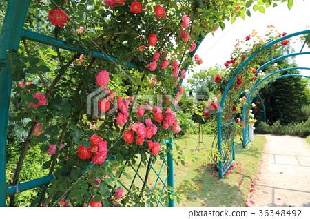 图库照片: 清水公园 玫瑰园 玫瑰