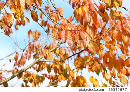 首页 照片 植物_花 树_树木 枫树 分支 树枝 树叶  *pixta限定素材仅