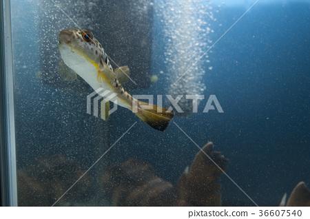 图库照片: 河豚鱼 河豚 鱼