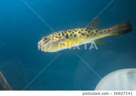 图库照片: 河豚鱼 河豚 海洋生物