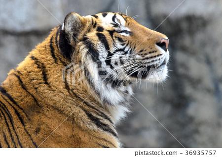 图库照片: 老虎 虎 动物