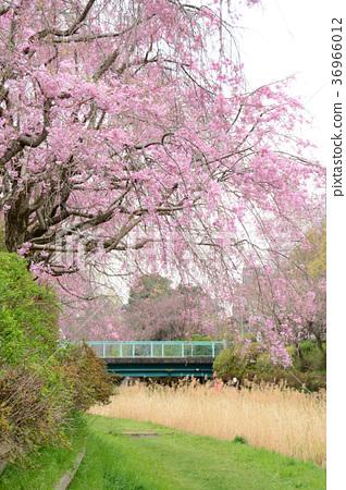 东京熟癹n��.�_图库照片: 东京小金井市nogawa的垂枝樱花从小金井市中町周边前原诚市