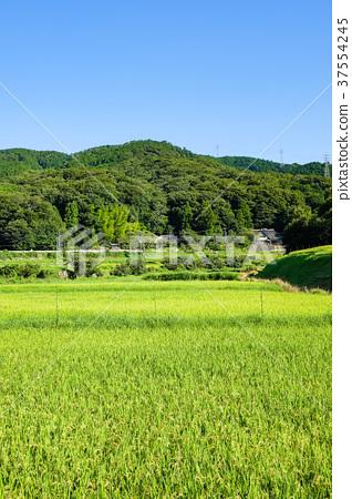 田地_稻田 稻田 照片 夏季乡村景观(八月) 首页 照片 风景_自然 田地