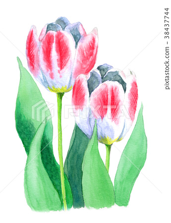 图库插图: 水彩画 郁金香 花朵