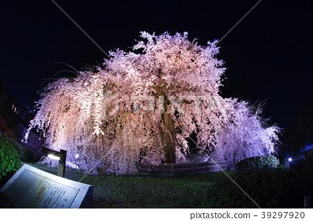 照片 植物_花 樱花 樱花 圆山公园 垂枝樱花 枝垂樱  *pixta限定素材