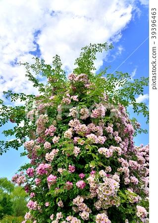 照片素材(图片): 玫瑰 玫瑰花 蔷薇