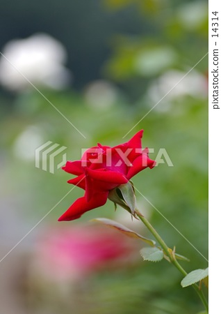 Red Rose 14314
