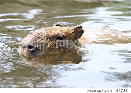 Capybara 35788