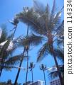 Waikiki, palm tree, vacation 114334