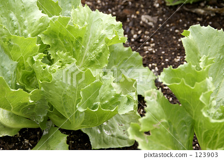 lettuce 123903