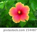 subtropical plant, Pink Flower, hibiscus 154487