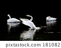Dance of the swan 181082