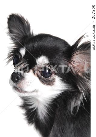 chihuahua, dog, dogs 267800