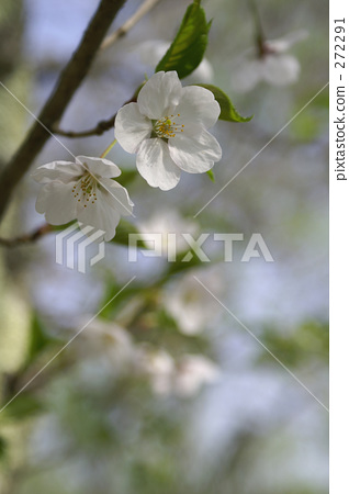 Two cherry blossoms 272291
