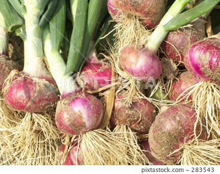 Freshly red onion 283543