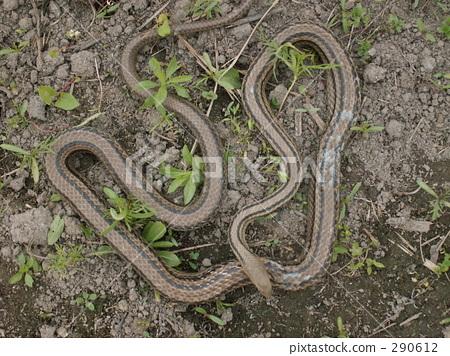 serpent, snake, reptile 290612
