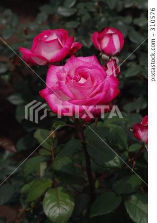 진다이 식물공원, 핑크 장미, 분홍 장미 310576
