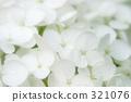 White hydrangea 321076