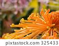 Chrysanthemum × morifolium, large flowered, kanagawa 325433