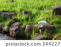 japanese cat, saitama prefecture, stray cat 344227