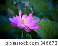 Lotus flower 346673