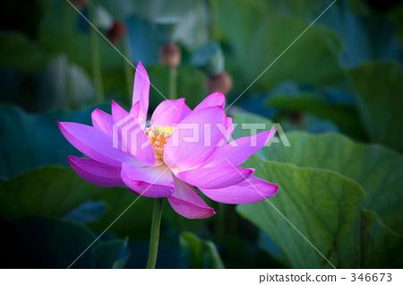 ดอกบัว,ดอกไม้,ไม้ 346673