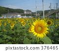 sunflower, sunflowers, minamiizu 376465