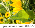 sunflower, sunflowers, frog 381027