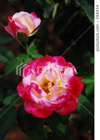 장미 꽃 388934