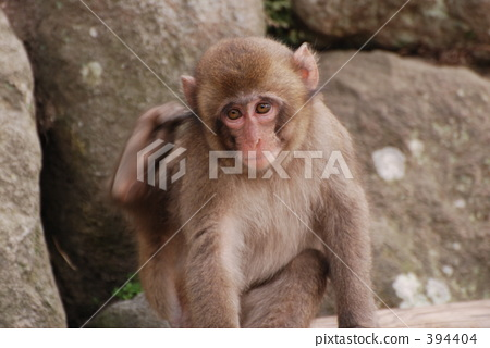 monkey 394404