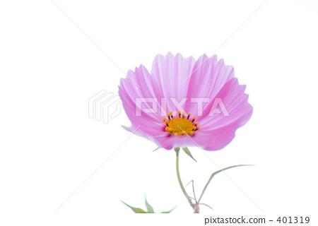 ดอกไม้ฤดูใบไม้ร่วง,คอสมอส,สดใส 401319