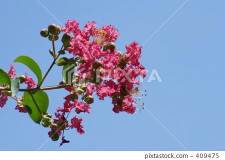 불타는 붉은 백일홍의 꽃 409475
