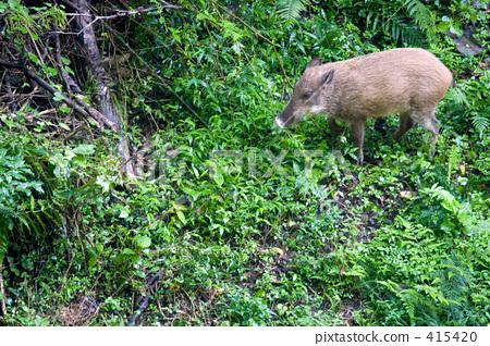 Wild Boar Appearance 415420