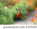 swallowtail butterfly, yellow cosmos, swallowtail 416569