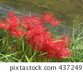 A cluster amaryllis of the river side 437249