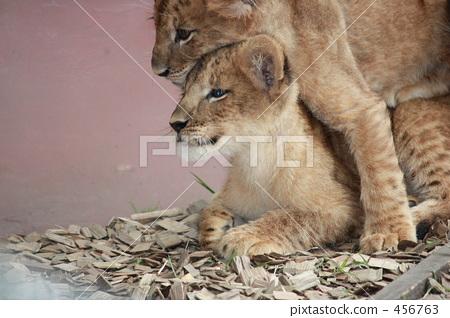 獅子王 456763