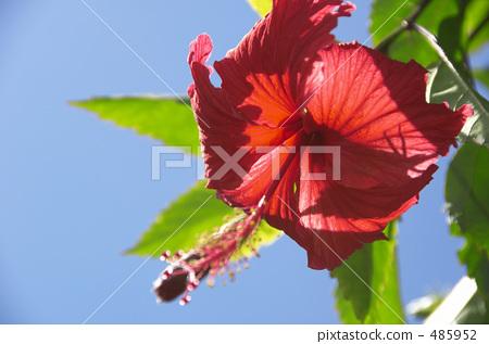 Hibiscus in Okinawa 485952