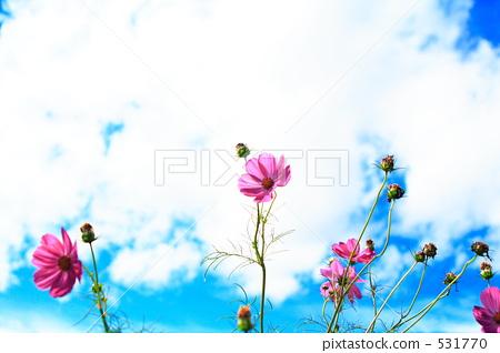 cosmos, cosmea, bloom 531770