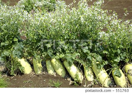 Vegetable field daikon flower japanese white radish flower stock vegetable field daikon flower japanese white radish flower 551763 mightylinksfo